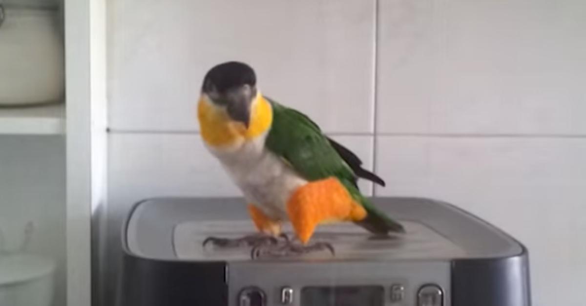 Der Papagei lauscht der Musik und plötzlich passiert es. Bei 0:12 wird er völlig verrückt.