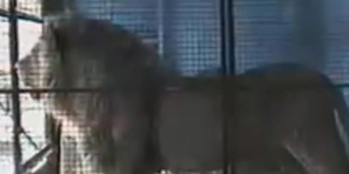 Dieser Zirkuslöwe wurde 13 Jahre im Käfig gequält. Dann öffnet sich das Gitter und DAS passiert.