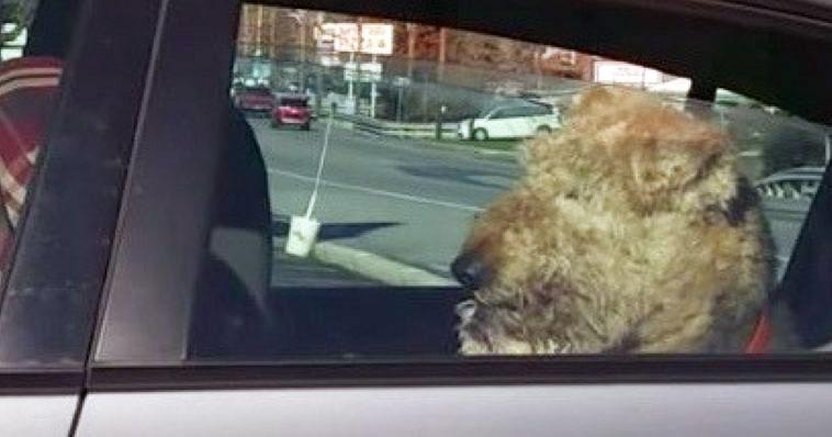 Die Geduld dieses Hundes, der im Auto wartet, ist am Ende – was er dann macht ist zum Totlachen!