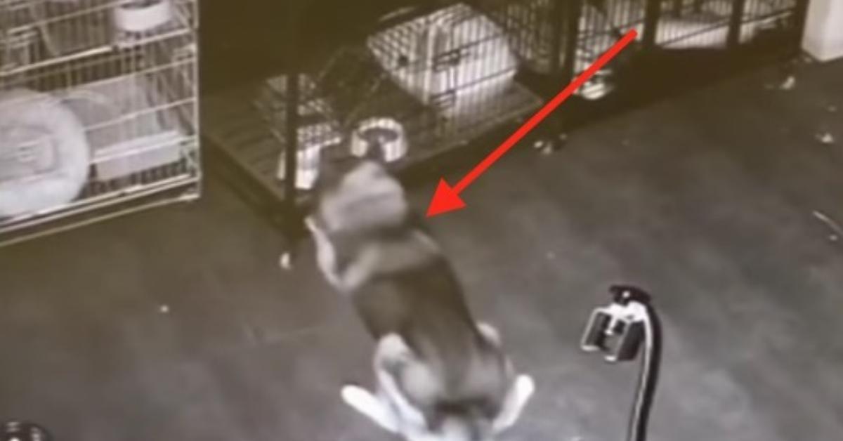 Die Hunde entkommen nachts aus den Käfigen. Was man auf der Überwachungsaufnahme beobachten kann, ist ganz schön ausgefuchst.