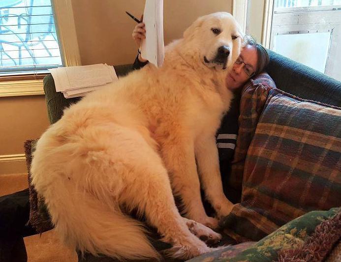 22 riesige Hunde, die sich für Schoßhunde halten.