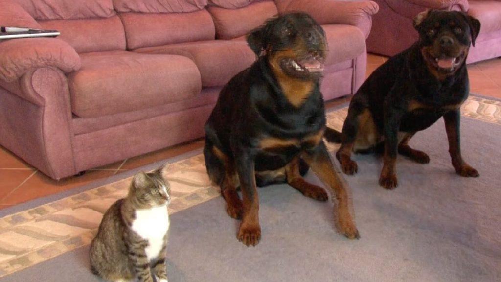 Er sagt seinen Hunden, sich hinzulegen – die Reaktion der Katze ist einfach genial!