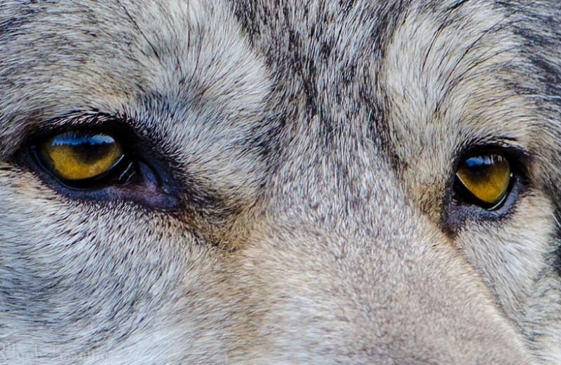 Zuerst denken sie, der Wolf hätte rote Hosenträger an, bis sie sich ihm nähern und sehen, wie verängstigt er ist.