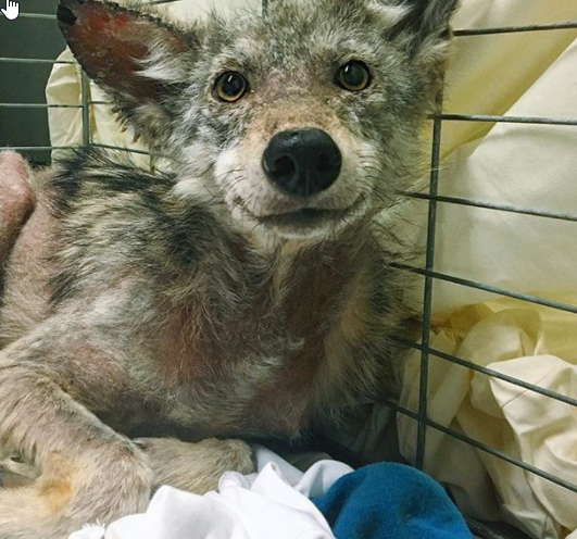 Die Helfer versorgen die Wunden des überfahrenen Kojoten, als sie plötzlich etwas in seinem Gesicht sehen.