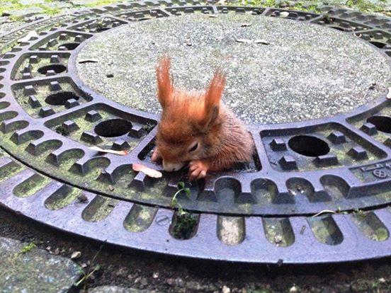 Das Eichhörnchen steckt im Gullydeckel fest und zappelt verzweifelt. Was die zwei Frauen dann tun, hat mich sehr erleichtert.