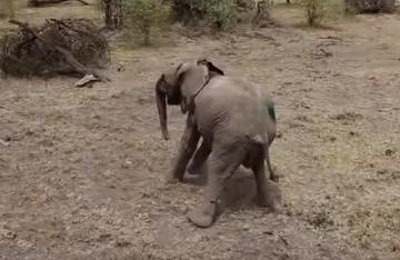 Sie schießen mit einem Pfeil auf ihr Kind. Wie die Elefantenmutter dann reagiert, ist herzzerreißend.