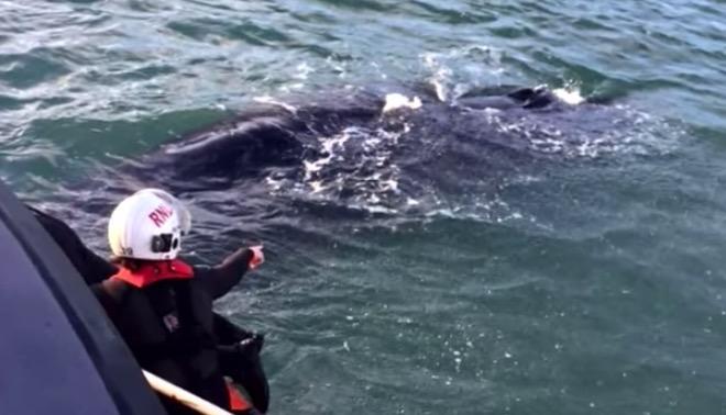 Der Buckelwal verfängt sich zum 2. Mal im Fischernetz. Die Retter sind überrascht, wie er reagiert.