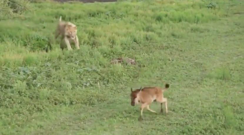 Löwin bereitet sich auf den Angriff vor – Sekunden später sind alle in Ehrfurcht, als sie ihren Kiefer öffnet