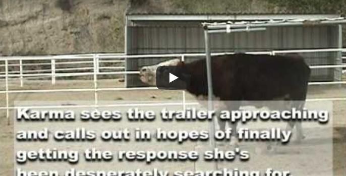 Niemand versteht, warum die Kuh so lauthals schreit – bis man die furchtbare Wahrheit herausfindet