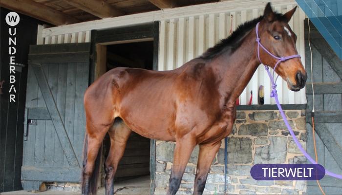 Das verletzte Pferd sollte eingeschläfert werden. Aber ihr Besitzer findet heraus, dass das Tier ein erstaunliches Talent hat.