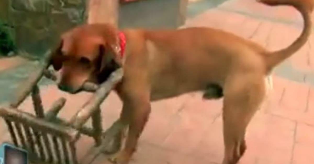 Der Hund trägt täglich einen kleinen Stuhl – jetzt bricht der Grund dafür die Herzen der ganzen Welt