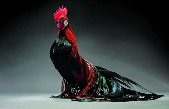 Fotografen stellen die 20 schönsten Hühner der Welt vor.