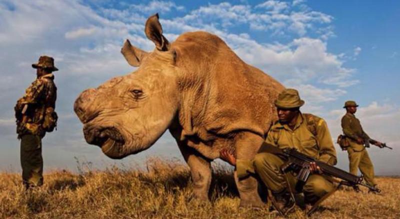 """Der letzte seiner Art: Nashorn """"Sudans"""" letzter Atemzug."""