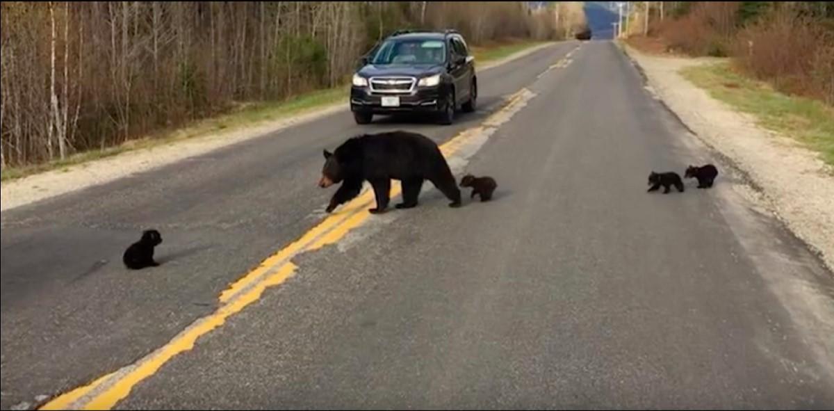 Die Polizei half der Bärenfamilie, die Straße zu überqueren. Ihre Freundlichkeit rettete das Leben eines Bärenjungen!