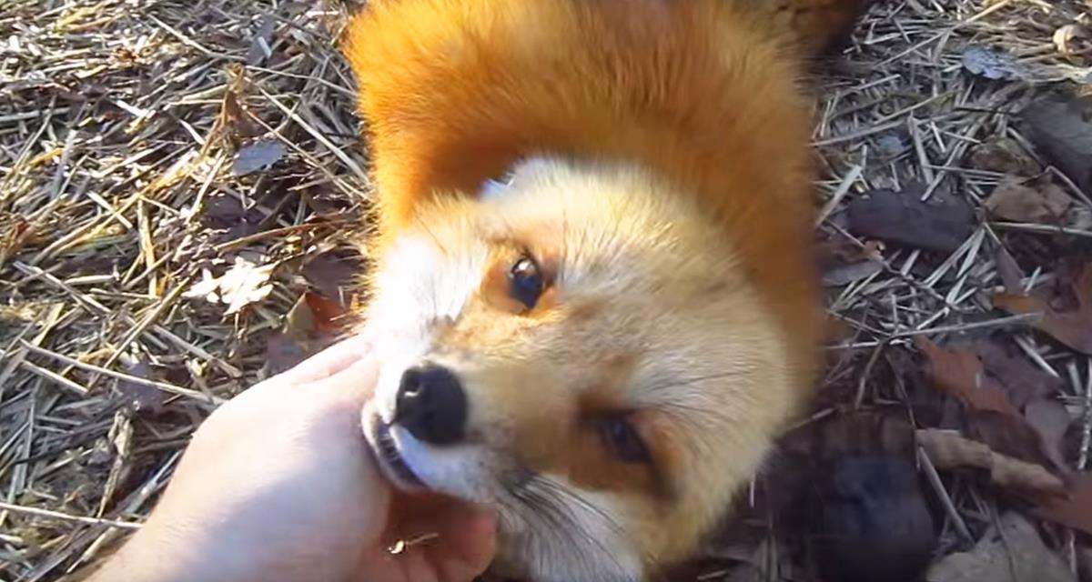 Ein lustiger und geselliger Fuchs gewann 5.3 Millionen Ansichten