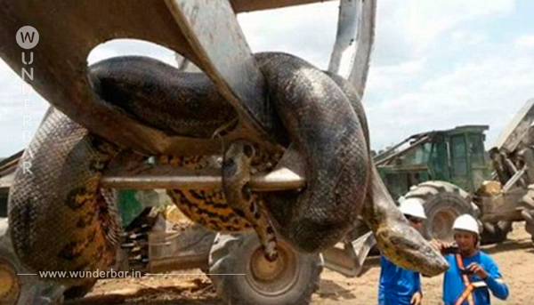 Die Bauarbeiter bekommen den Schreck ihres Lebens, als sie dieses riesige Tier auf der Baustelle finden. Was zur Hölle?