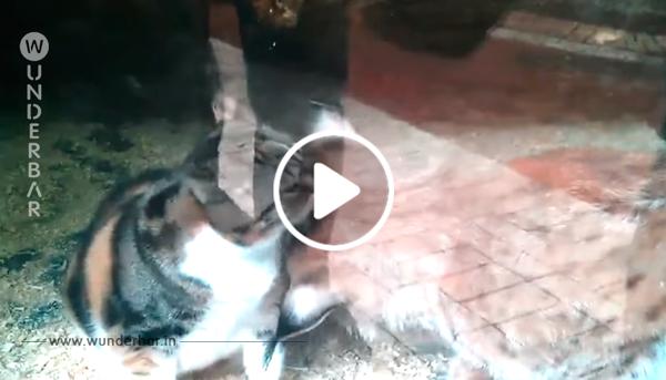 Eine Katze fällt in den Luchs Käfig. Die Reaktion der Katze hat weltweit für Fassungslosigkeit gesorgt.