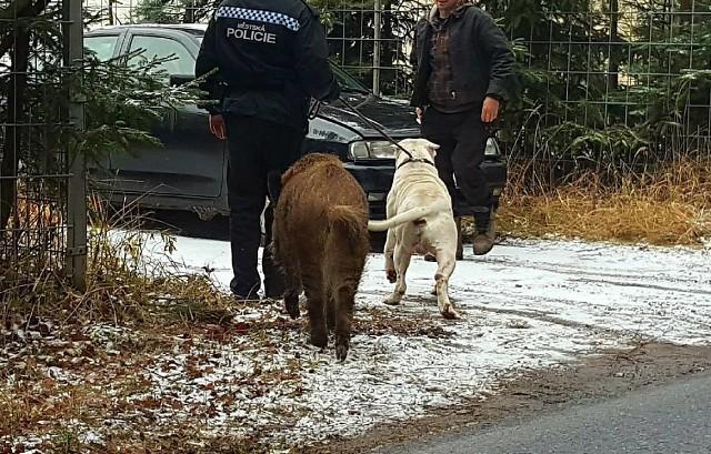 Das Wildschwein kam zum Polizeiwagen und verlangte, den Hund zu ihm zurückzubringen!