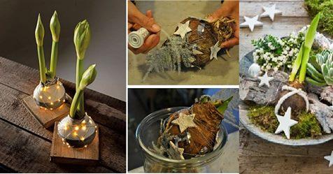 Mit der Amaryllis Blumenzwiebel gestalten Sie die schönsten Kreationen für Ihre Herbst- und Weihnachtsdeko!