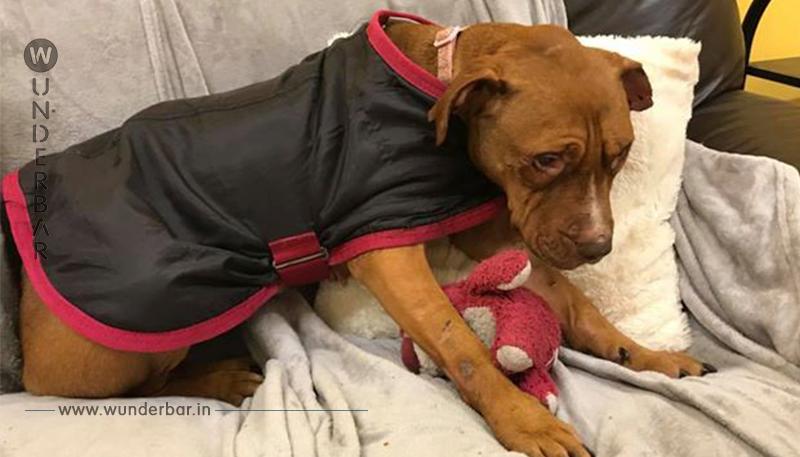 """Ein Hund, der im Hundekampf als """"Köder"""" benutzt wurde, fängt ein neues Leben an"""