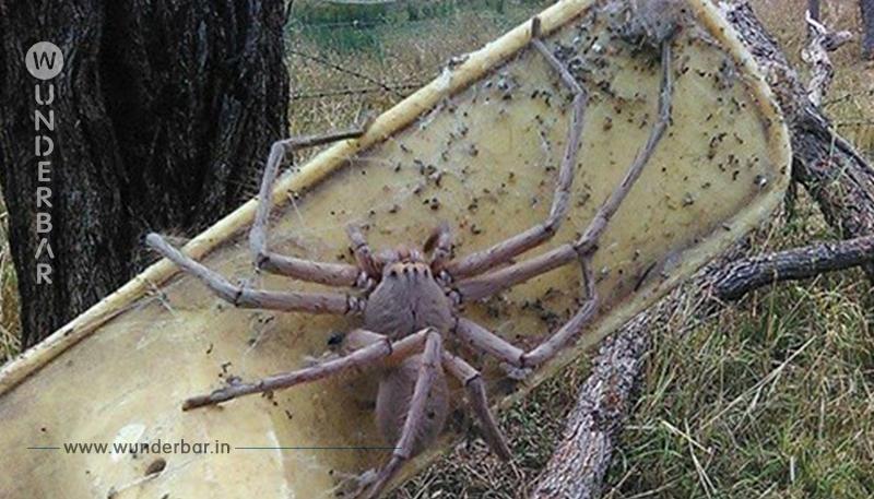 Australische Frau rettet pudelgroße Spinne und behält sie.
