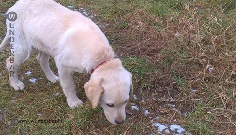 Labrador Welpe wurde als Kettenhund gehalten