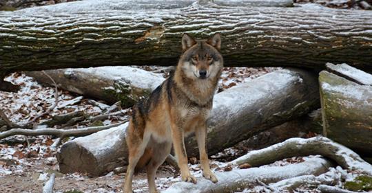 Ausgebüxter Wildpark Wolf wahrscheinlich überfahren
