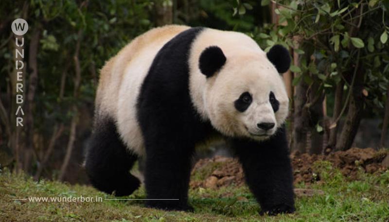 Endlich Mann für Panda Dame Yang Yang