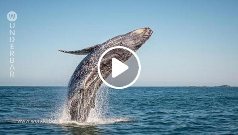 Warum springen Wale eigentlich?