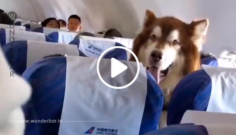 Menschen sind verwundert, als sie einen Alaskan Malamute im Flugzeug sehen