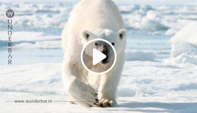 So sieht eine Invasion aggressiver Eisbären aus – und hungrig sind sie auch