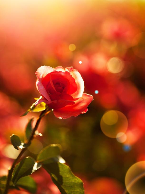 Wie aus einer Kartoffel Rosen wachsen