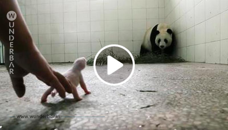Zoopersonal besorgt, dass Pandamutter ihr Baby abweist, bis die Kameras den Moment einfangen, in dem ihre Instinkte erwachen