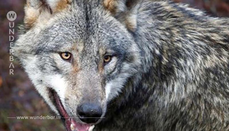 RAUBTIERFREIE ZONE GEFORDERT CDU Politiker will Wolf aus dem Harz verjagen