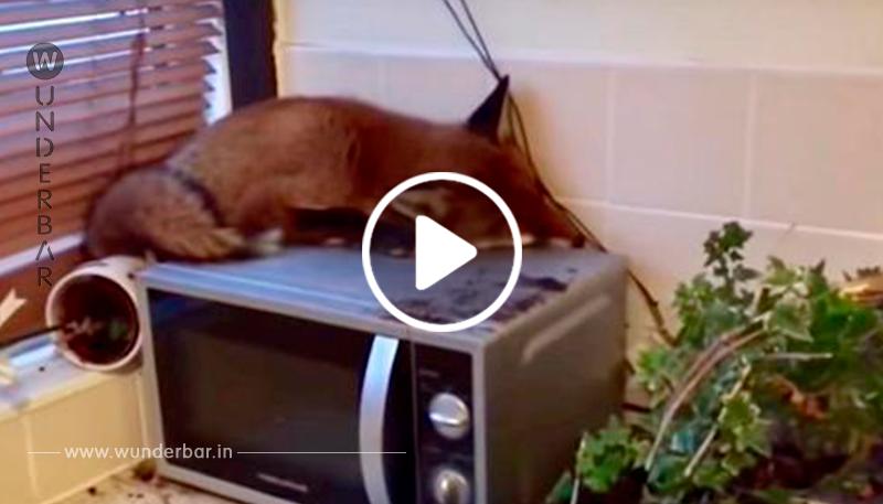 Eine Familie wacht auf und findet einen Fuchs, der auf ihrer Mikrowelle schläft