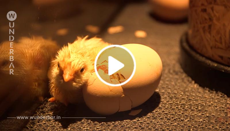Küken schlüpft in Kühlschrank aus dem Ei