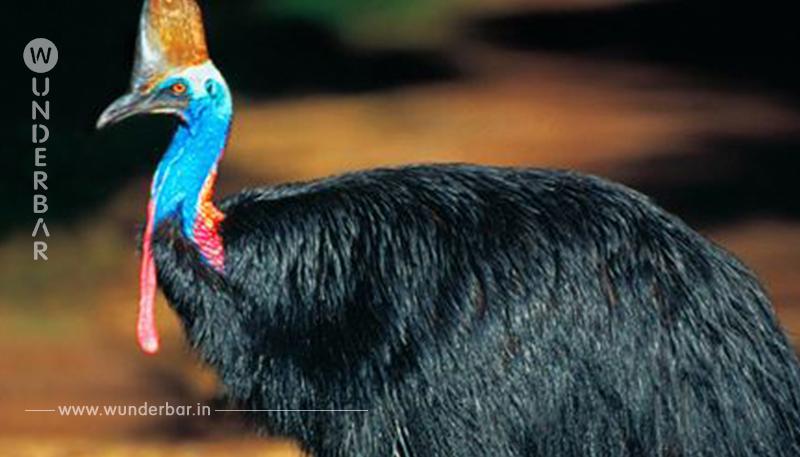 KASUARE WIEGEN 60 KILO UND WERDEN 1,70 METER GROSS Wütender Vogel bringt  seinen Züchter um