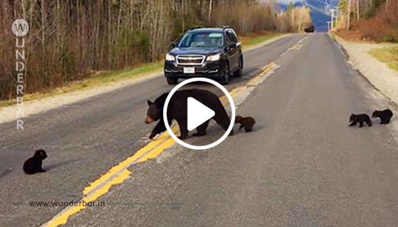 Ein Baby Bär kann mit der Familie, die die Straße überquert, nicht mithalten, also versucht ein Polizist zu helfen
