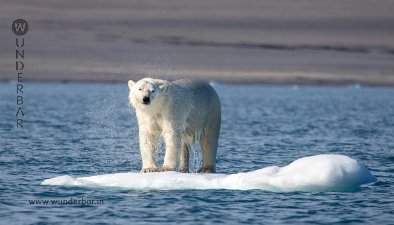 Auf der Suche nach Nahrung: Spindeldürrer Eisbär verirrt sich nach Russland