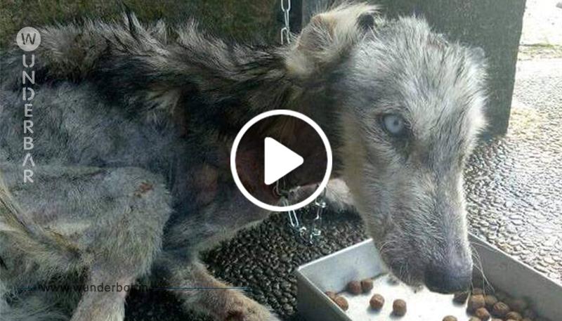 Aufs Skelett verhungerte Husky-Hündin wird kurz vor dem Tod gerettet – 10 Monate später erstrahlt sie