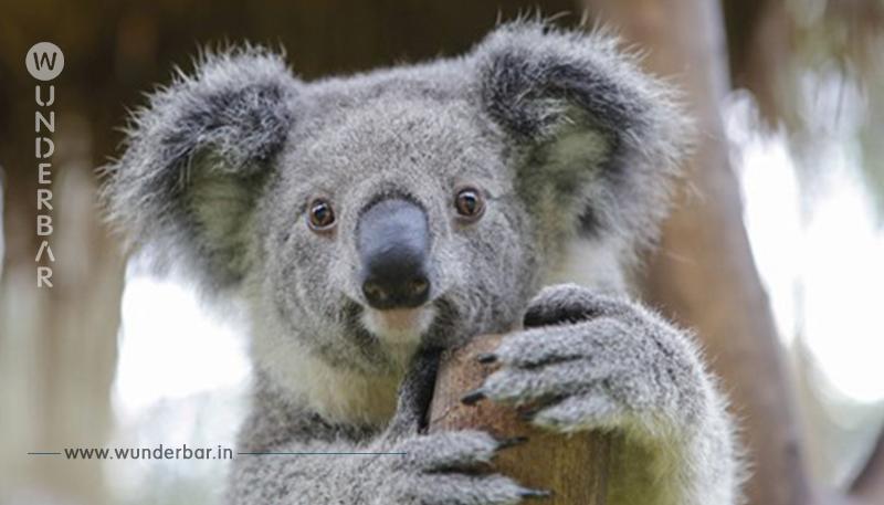 Der Koala gilt als praktisch ausgestorben