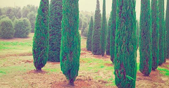 Zypresse: Heilender Baum mit Tradition