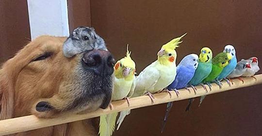 Zwei Golden Retriever, ein Hamster und 8 Vögel bilden die seltsamsten besten Freunde aller Zeiten