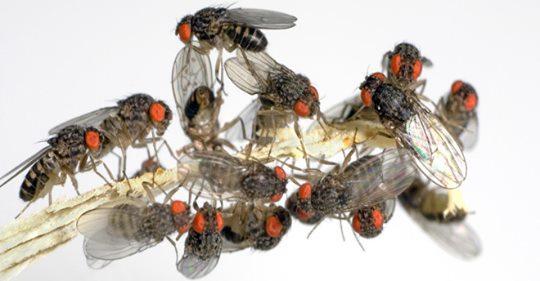 Fruchtfliegen sind zwar harmlos, aber nervig. So könnt ihr sie von Obst & Co. fernhalten ...