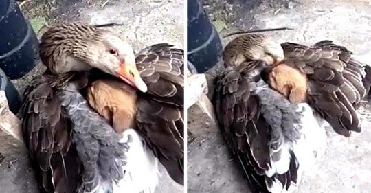 Zurückgelassener Welpe fror in der Kälte auf der Straße, bis eine Gans ihn mit ihren Flügeln wärmte