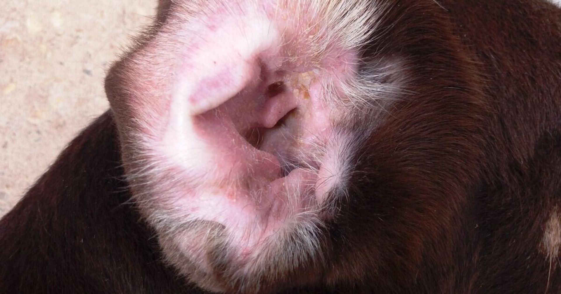 Der große Lauscherangriff: Ohrenentzündung beim Hund
