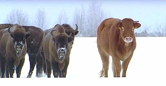 Kuh entflieht Schlachthaus und wird von Bisons adoptiert