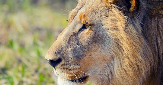 Kanadisches Jäger-Paar posiert vor erschossenem Löwen in Afrika