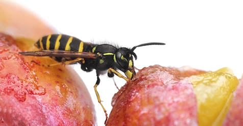 Bienen- und Wespenstichallergie: Erkennen und handeln