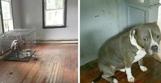Pit Bulls, die in einem verlassenen Haus zum Sterben zurückgelassen wurden, wedeln mit ihren Schwänzen, als sie ihre Retter zum ersten Mal sehen